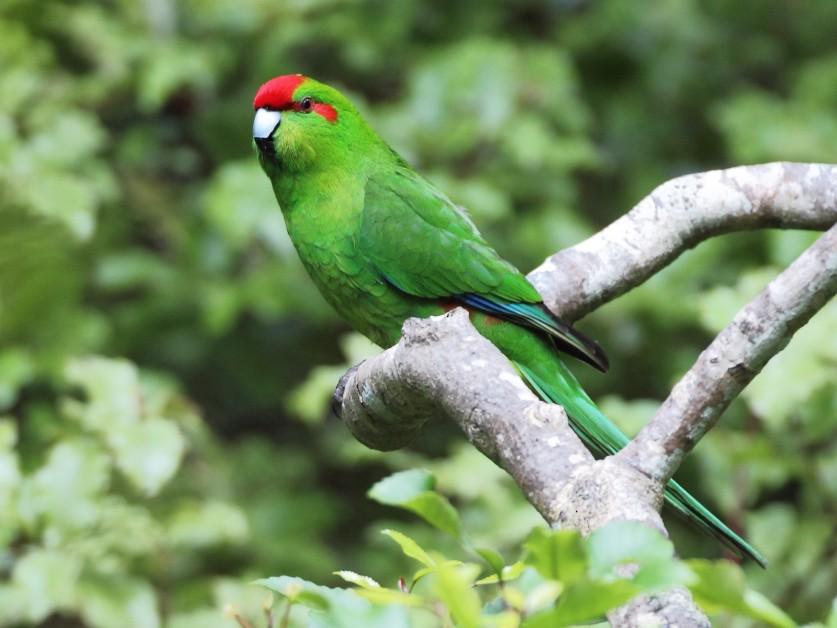 Red-crowned Parakeet - Brendan Klick