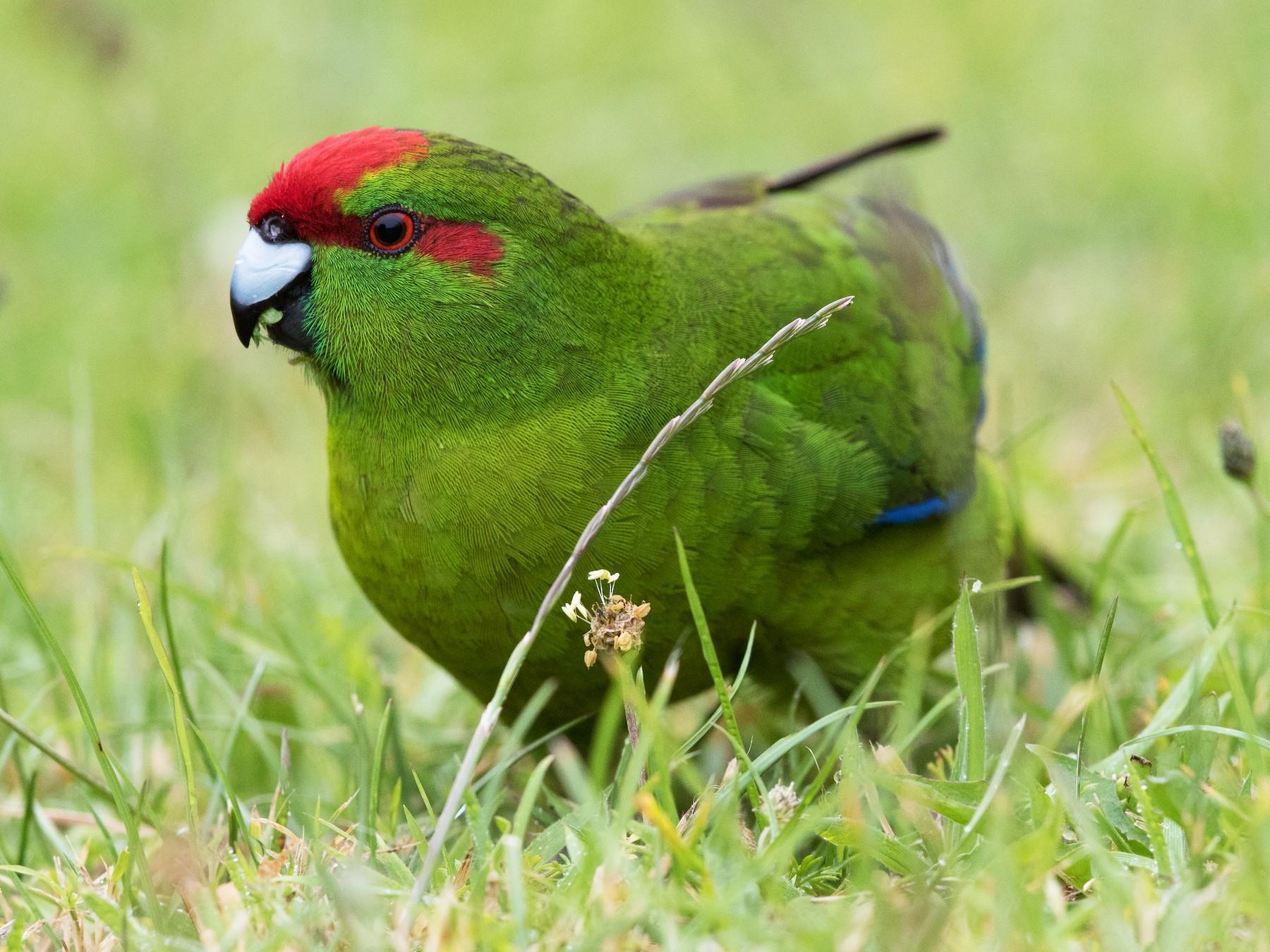 Red-crowned Parakeet - Stefan  Hirsch