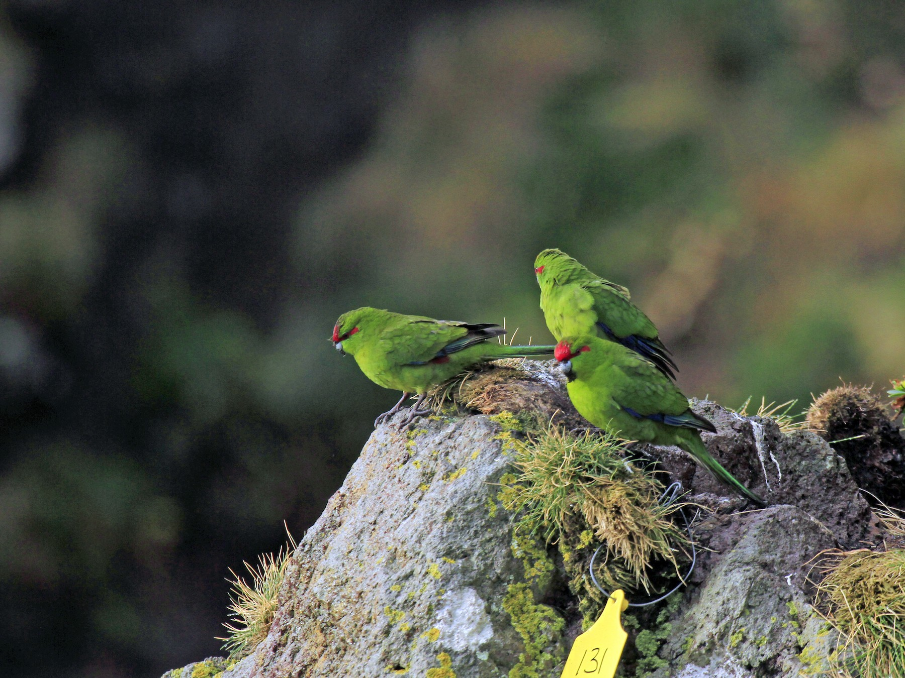 Red-crowned Parakeet - Timothee POUPART