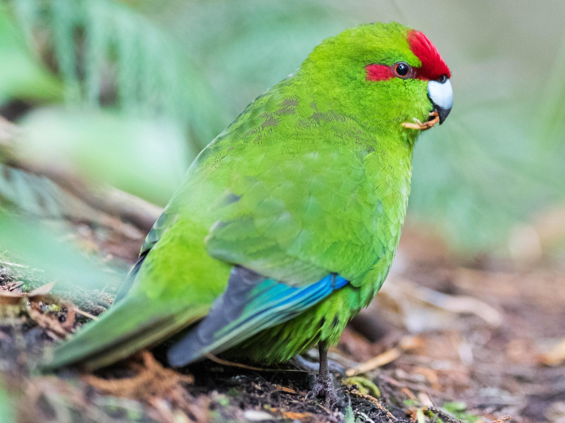Red-crowned Parakeet - Peter Taylor