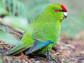 - Red-crowned Parakeet