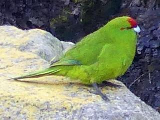 - Reischek's Parakeet