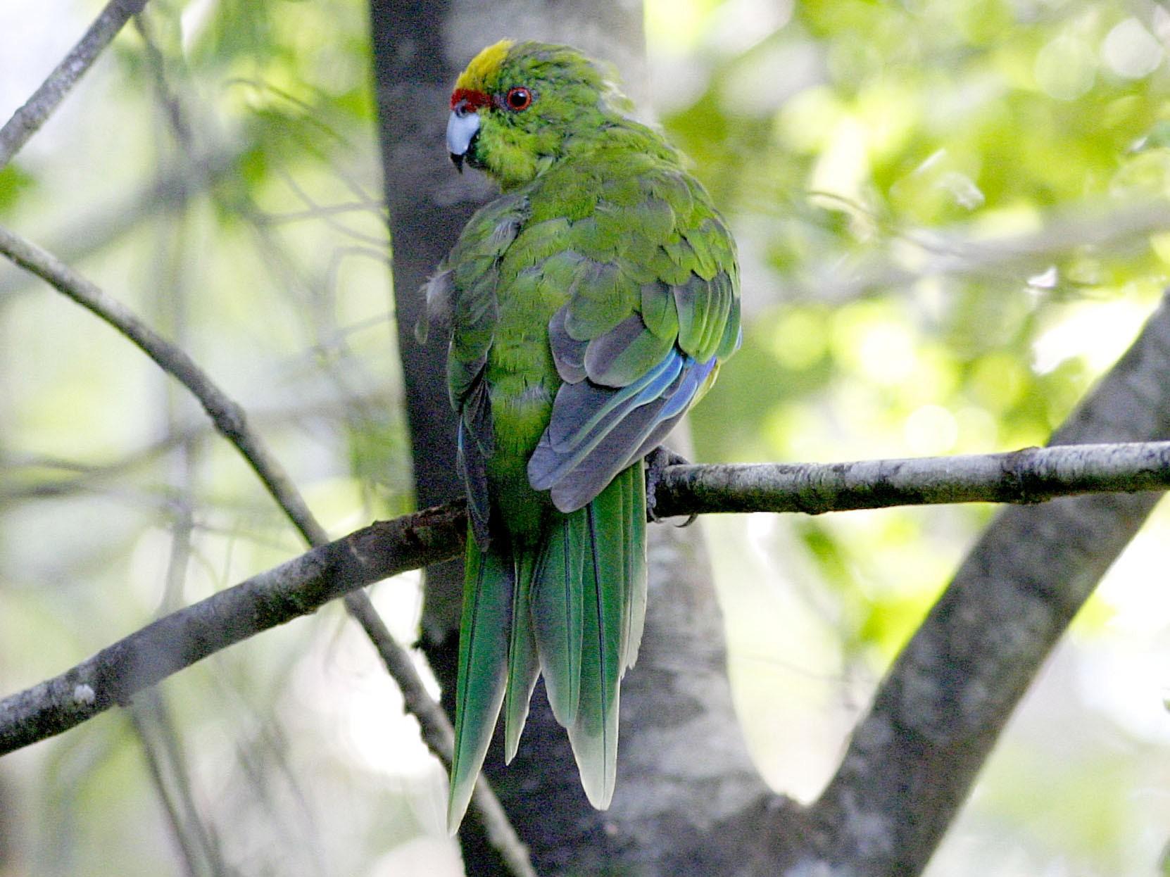 Yellow-crowned Parakeet - David Bradley