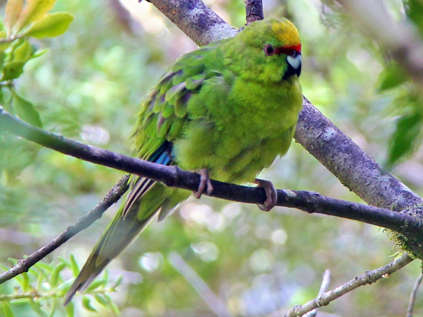 Yellow-crowned Parakeet - Anonymous eBirder