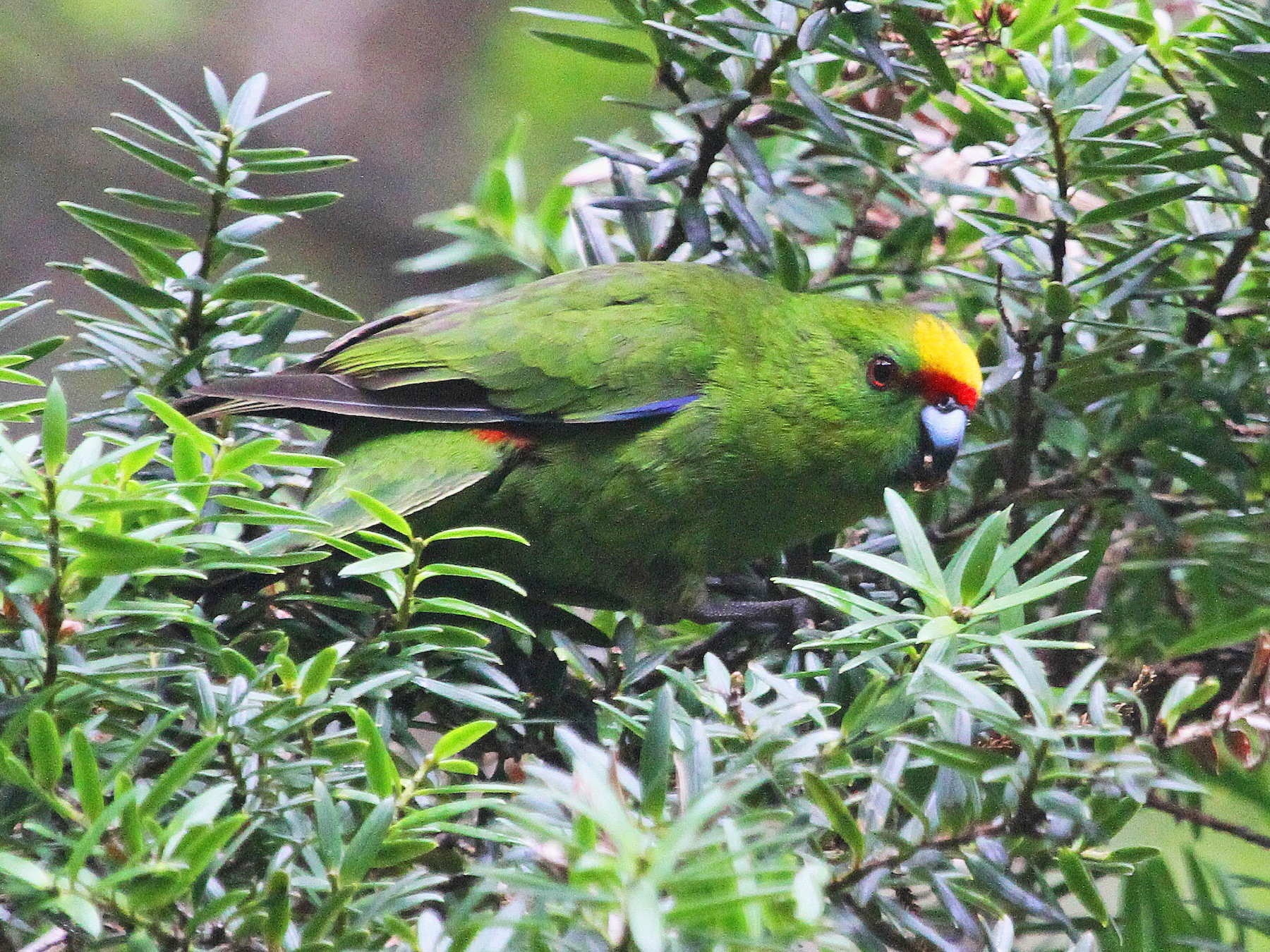 Yellow-crowned Parakeet - Stephen Gast