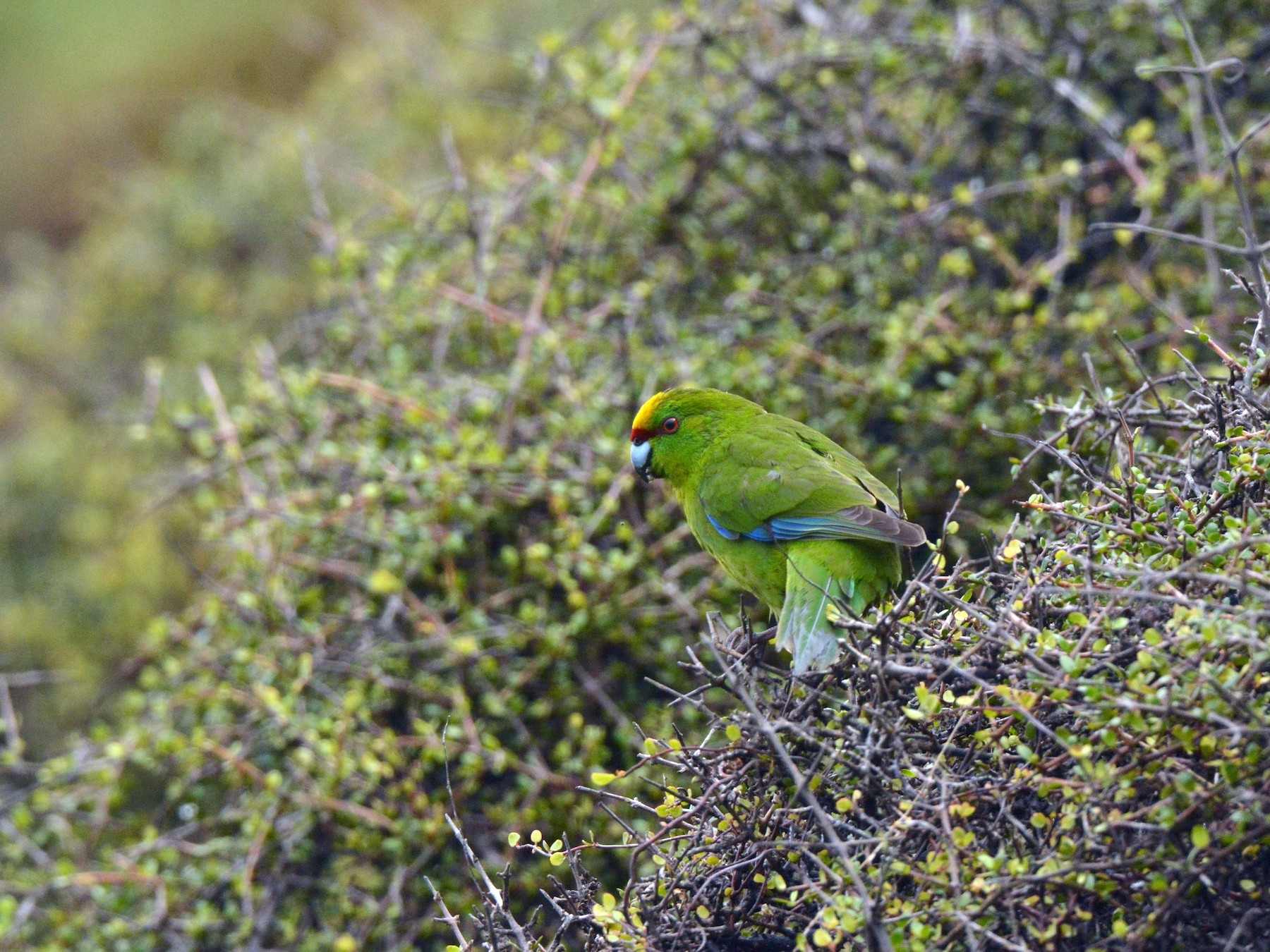 Yellow-crowned Parakeet - Christopher Stephens