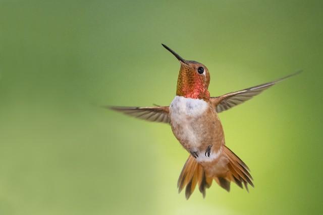 ©Bryan Calk - Rufous Hummingbird