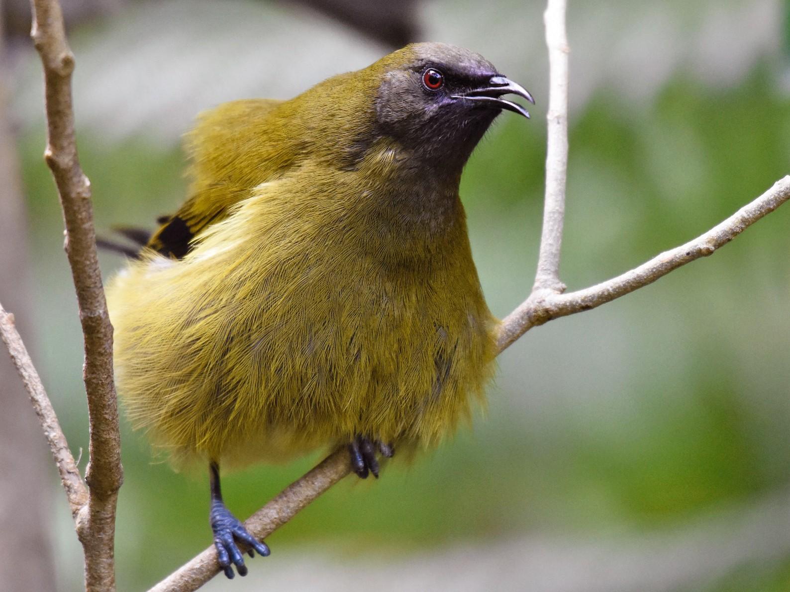 New Zealand Bellbird - George Gibbs