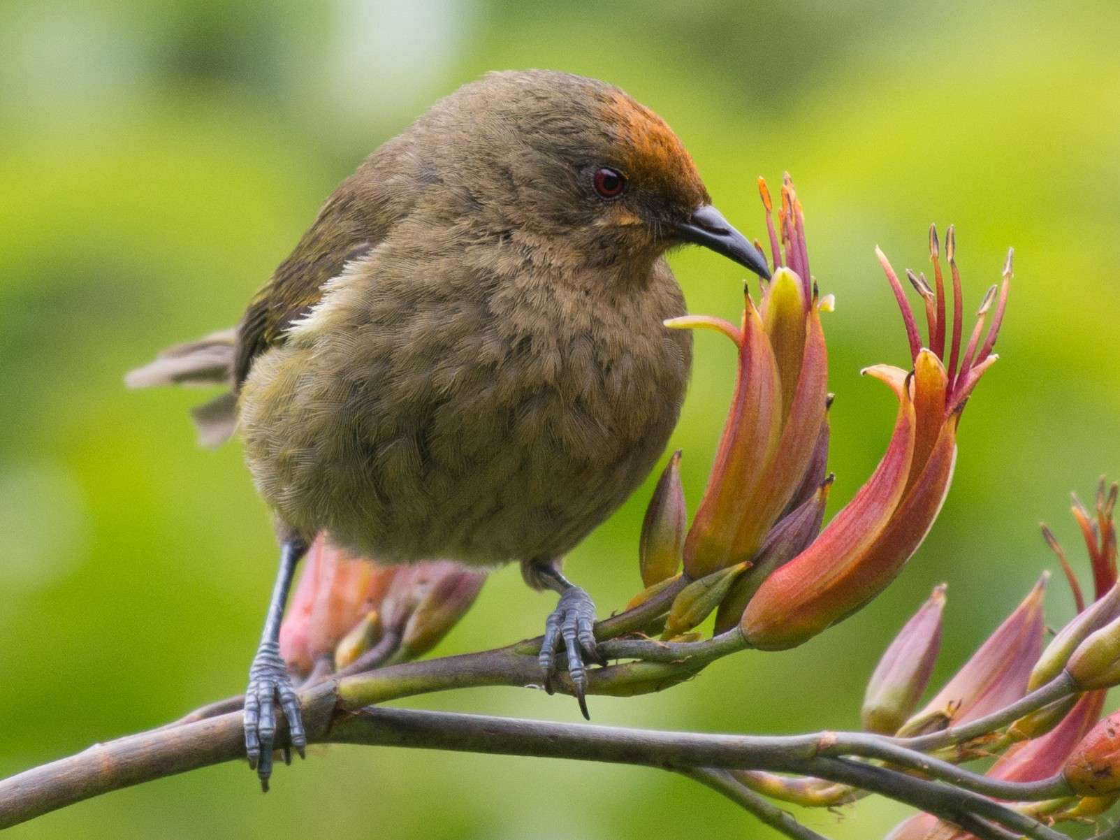 New Zealand Bellbird - Adriana Dinu