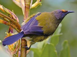- New Zealand Bellbird