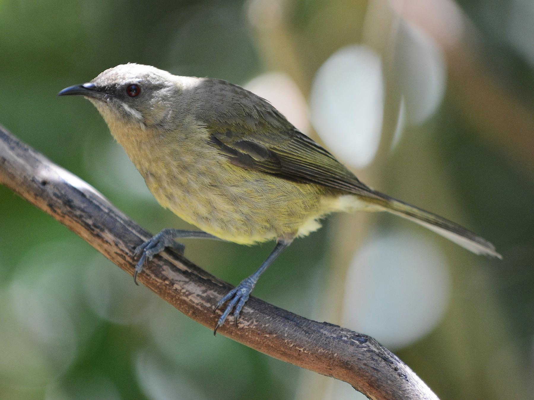 New Zealand Bellbird - Cathy Pasterczyk