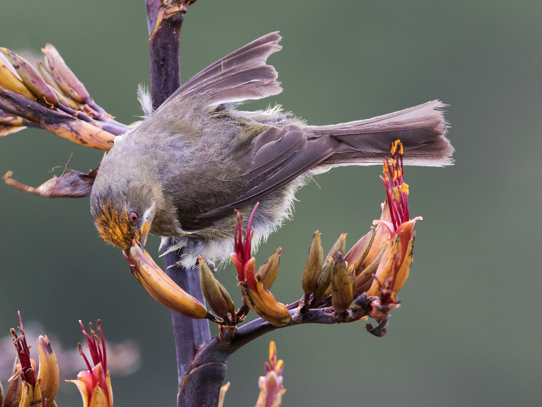 New Zealand Bellbird - Stefan  Hirsch