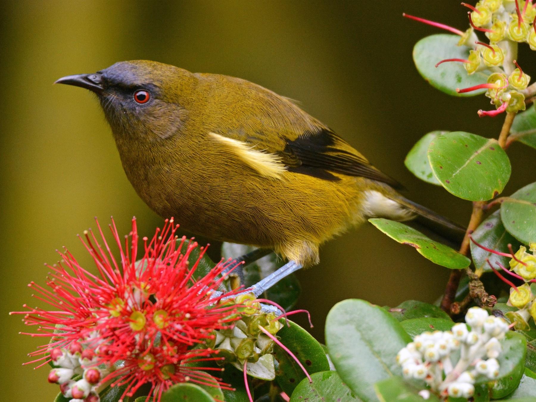New Zealand Bellbird - Christopher Stephens