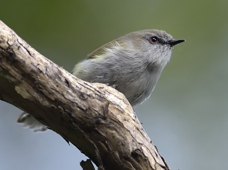 Gray Gerygone - Paul Maury