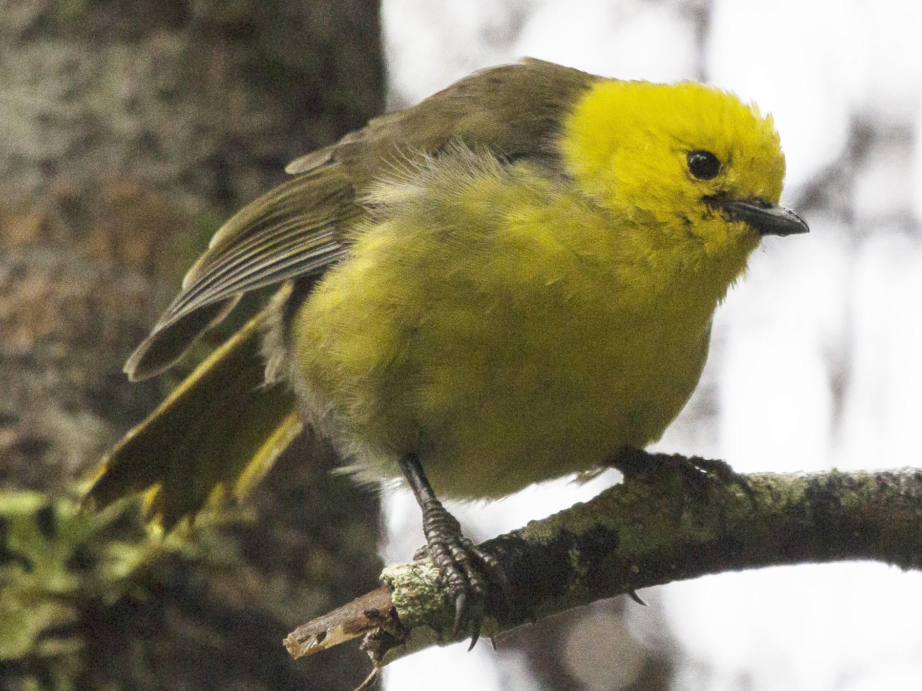 Yellowhead - Oscar Thomas