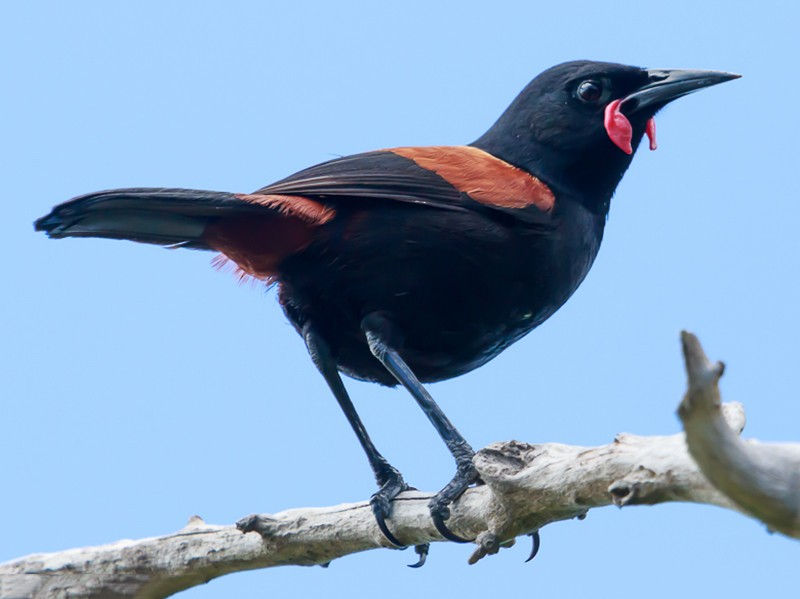 North Island Saddleback - Imogen Warren