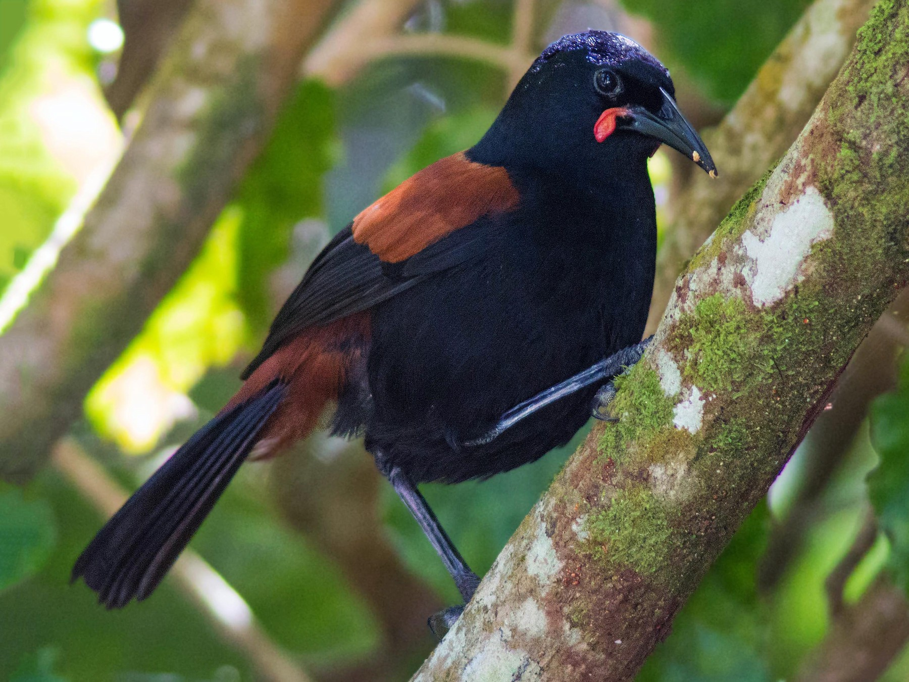 North Island Saddleback - D England
