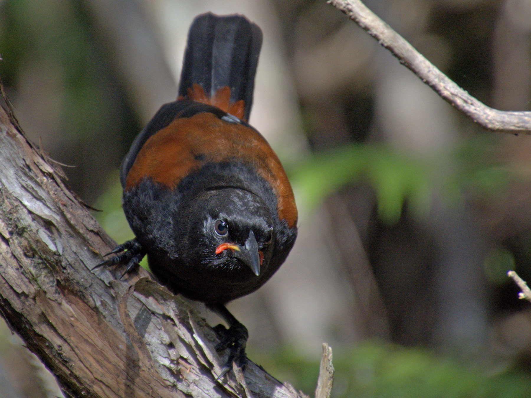 North Island Saddleback - Oscar Thomas