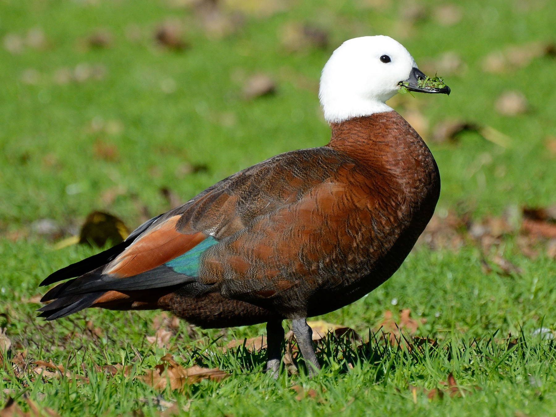 Paradise Shelduck - Lee-Lien WANG