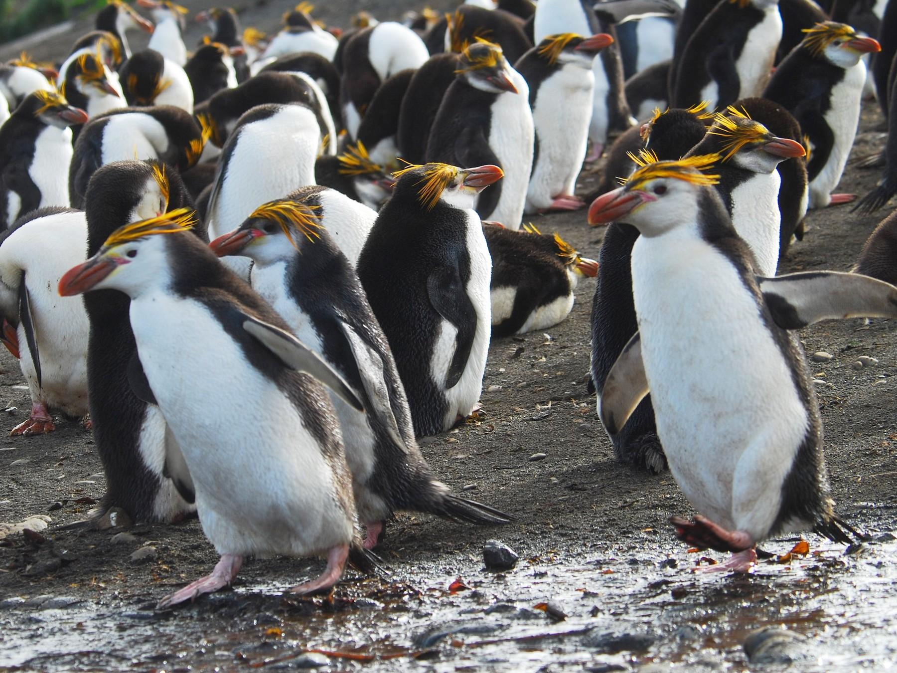 Royal Penguin - Santiago Imberti