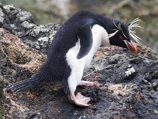 - Southern Rockhopper Penguin