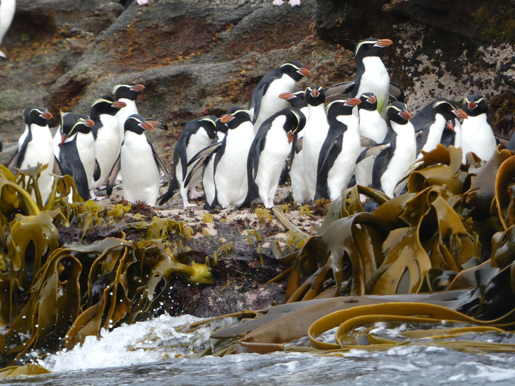 Snares Penguin - Peter Kaestner