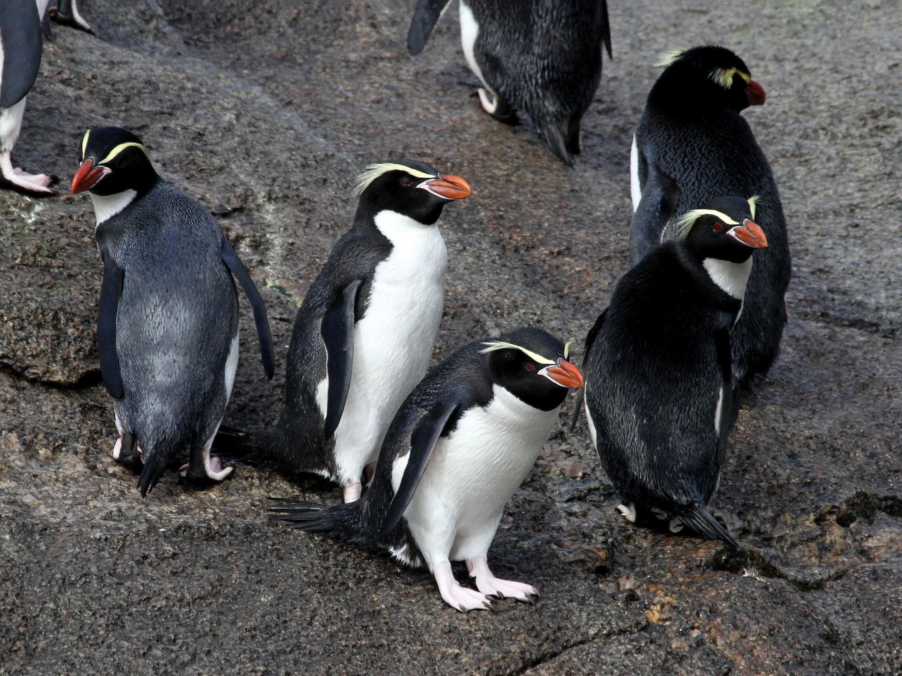 Snares Penguin - Stephen Gast