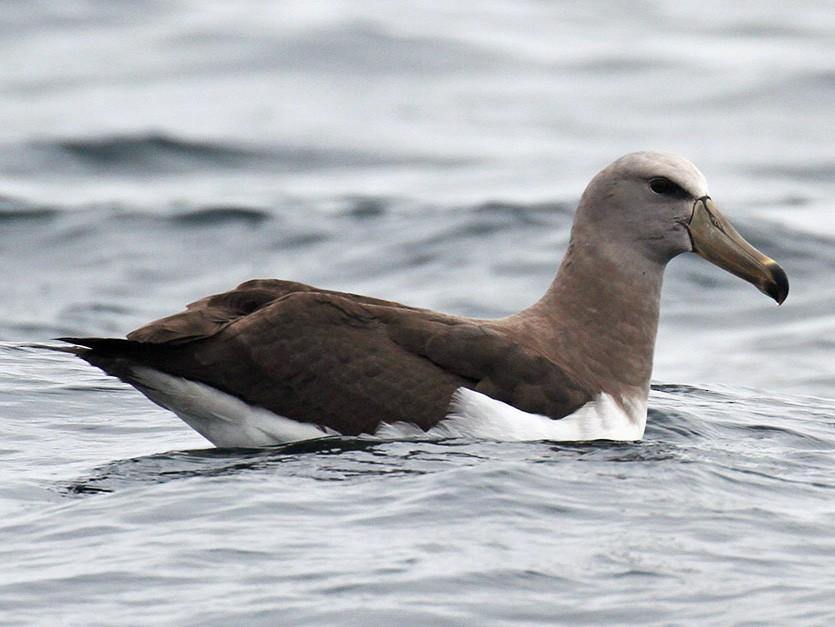 Chatham Albatross - Fabrice Schmitt