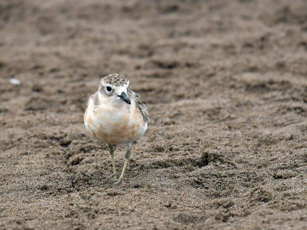 Red-breasted Dotterel - Qin Huang