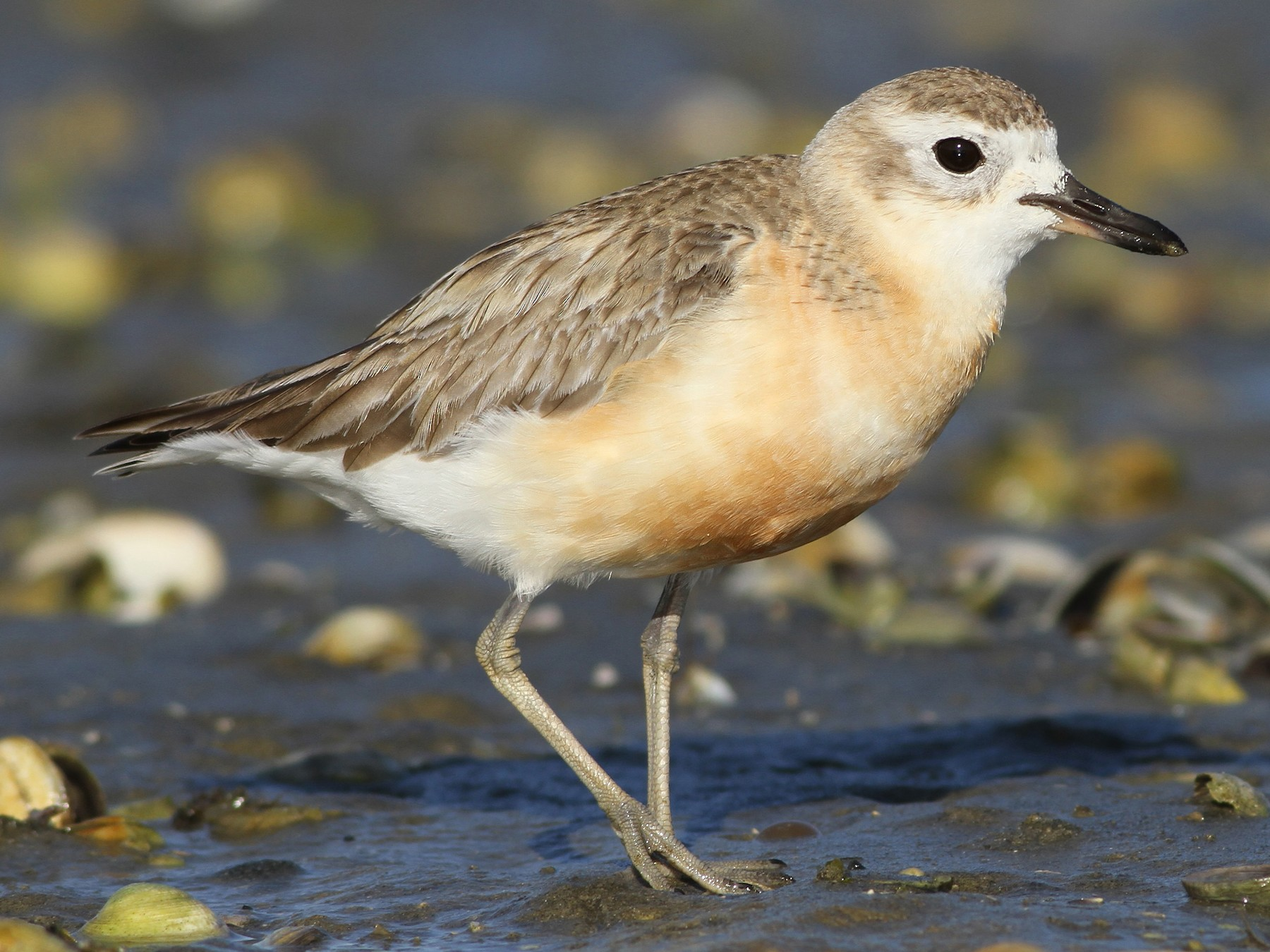 Red-breasted Dotterel - Evan Lipton