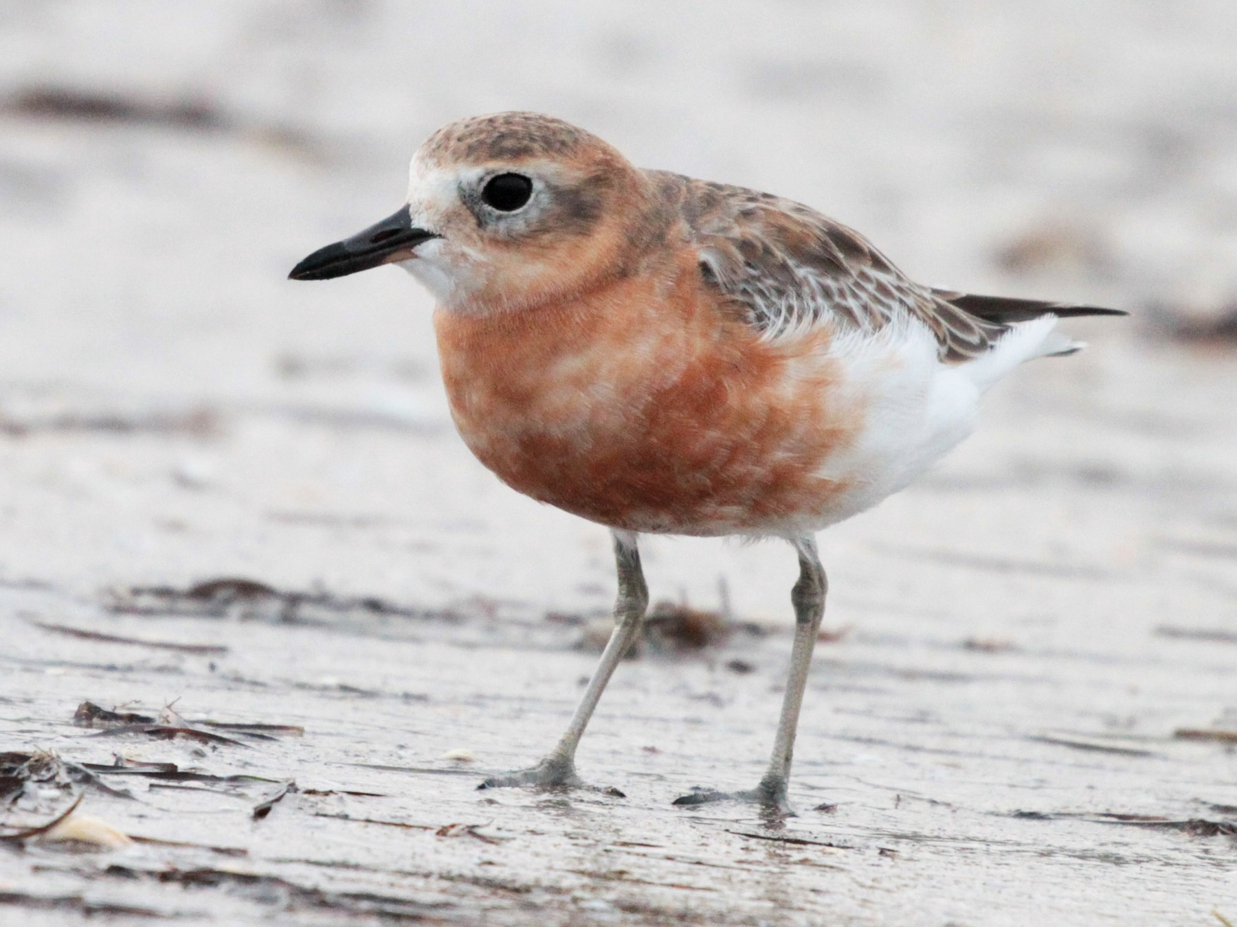 Red-breasted Dotterel - Corey Callaghan