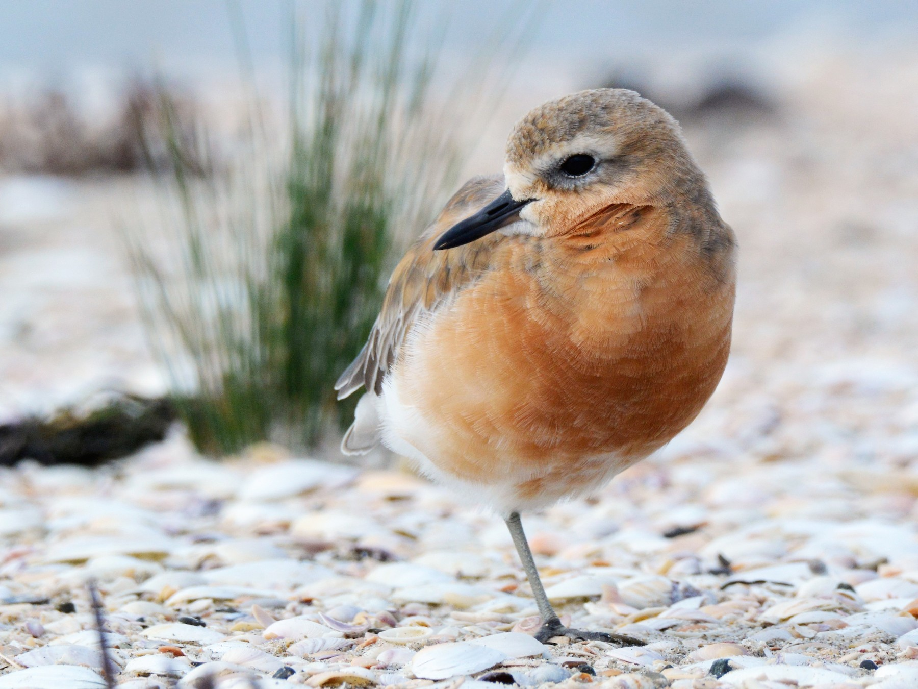 Red-breasted Dotterel - Christopher Stephens