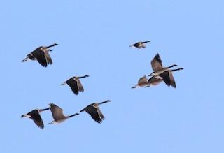 Cackling Goose, ML110264571