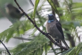 - Blue-throated Brown Sunbird