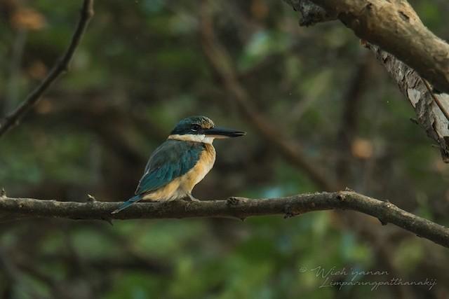 Sacred Kingfisher (Australasian)
