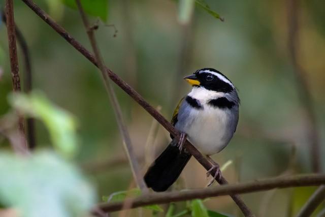 Half-collared Sparrow