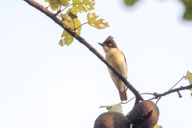 Black-and-white Shrike-flycatcher