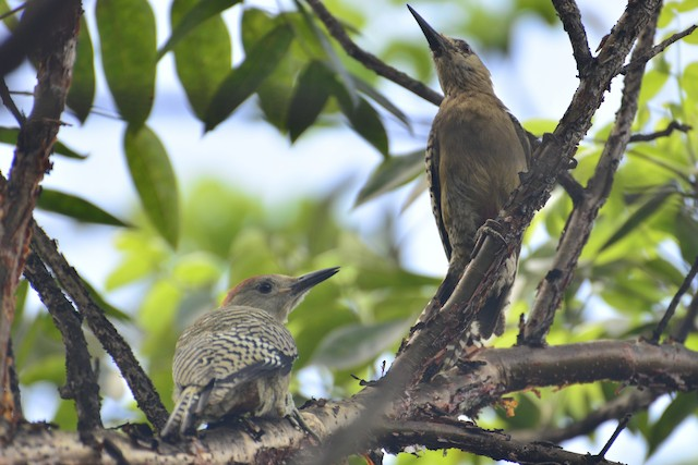 Juveniles (subspecies <em>caymanensis</em>).