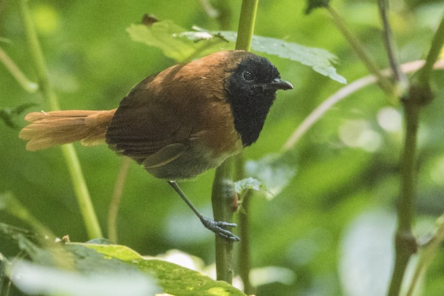 Black-faced Rufous-Warbler