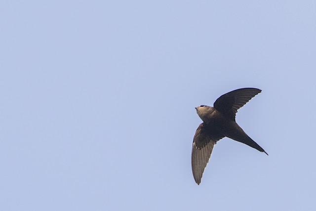 Scarce Swift