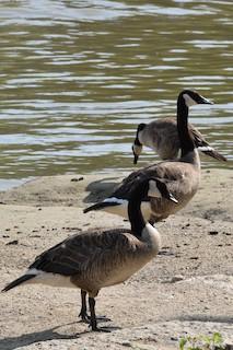 Canada Goose, ML110665381