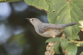 - Red-winged Gray Warbler