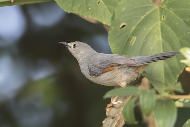Red-winged Gray Warbler