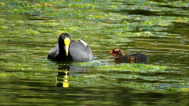 White-winged Coot