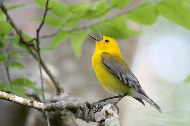 ©Stephen Gast - Prothonotary Warbler
