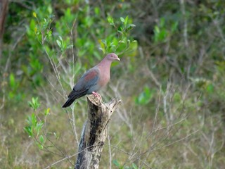 Red-billed Pigeon, ML111020581