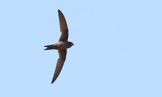 - Mottled Swift