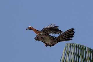 White-crested Guan