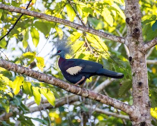 - Sclater's Crowned-Pigeon