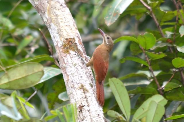 Red-billed Woodcreeper